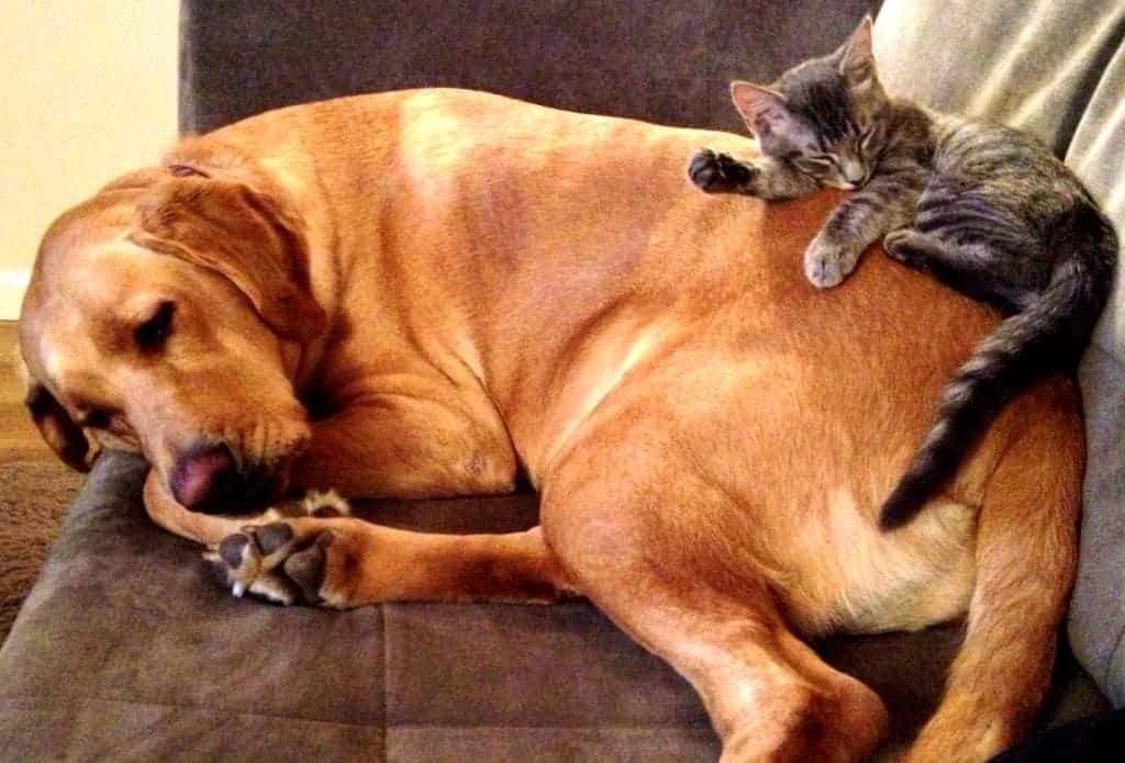 large dog and kitten sleeping