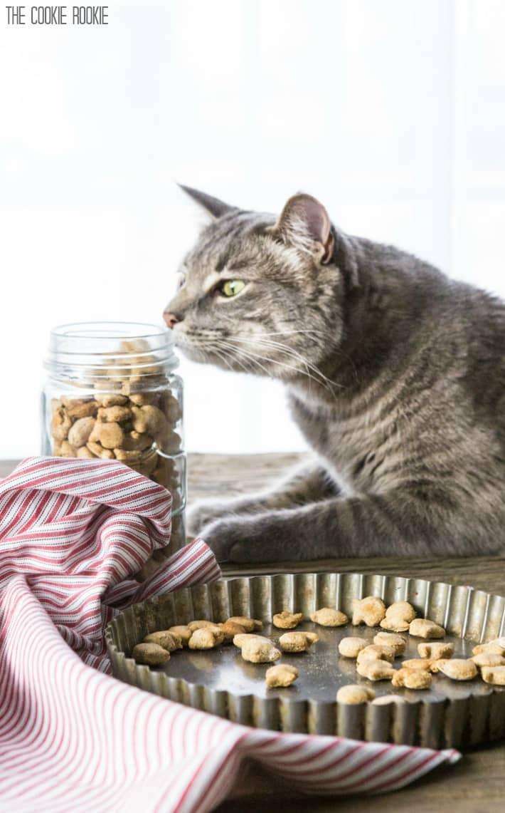 Gray cat sniffing a jar of cat treats.