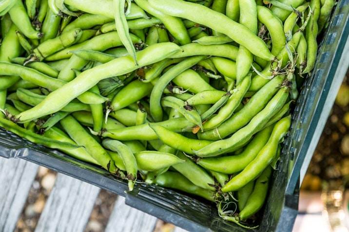 green beans from the garden at wente vineyards, livermore valley california