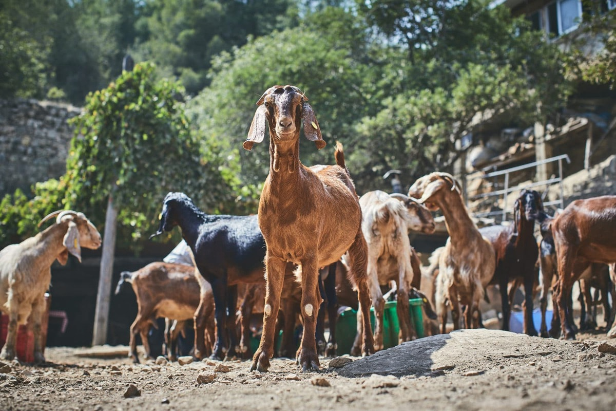 goats at goat farm in Israel